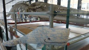 Up close with the Fin Whale at Cambridge Museum of Zoology